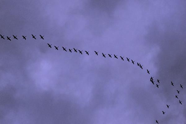 昨年北海道で遭遇した白鳥の群れ
